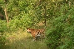 The blazing stripes, Bandhavgarh, Madhya Pradesh