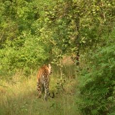 The blazing stripes, Bandhavgarh, Madhya Pradesh