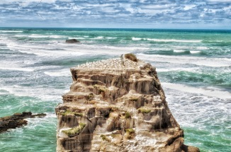 Muriwai is home to a large colony of Gannet which nest and breed here